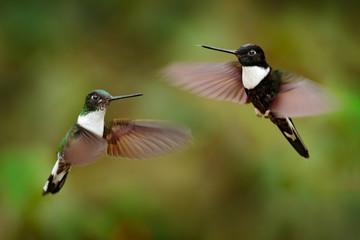 Hummingbird with flower. Collared Inca, Coeligena torquata, dark green black and white hummingbird flying next to beautiful orange flower, Colombia. Wildlife scene from nature.
