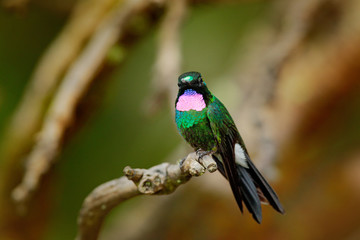 Hummingbird Tourmaline Sunangel, sitting on the branch in Ecuador. Bird with pink throat and plumage in the tropic forest habitat. Wildlife scene from nature.