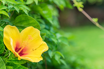 Yellow hibiscus blooming flower on a beach of Naha City in Okinawa island in Japan.