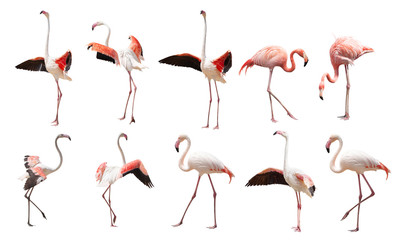 a large set of flamingos isolated on a white background in various poses