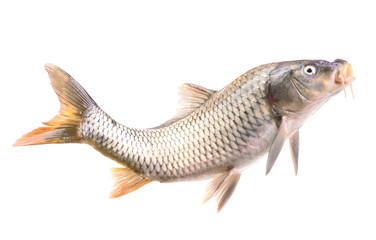 Fish carp Isolated on white background
