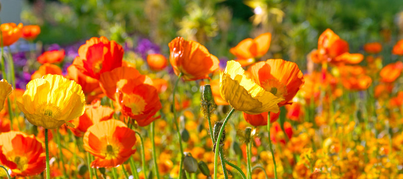Summer feeling: Detailed close-up of beautiful yellow and orange poppy blossoms; Palatinate in Germany.