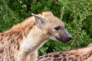 Foto op Aluminium Hyena hyena mammal of the national park reserves and parks of south africa