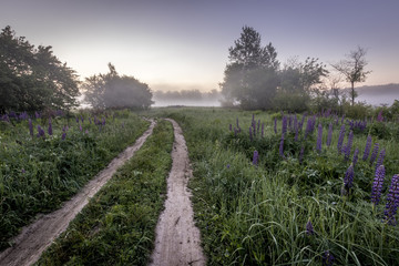 Twilight on a field covered with flowering lupines and path in summer morning with fog.