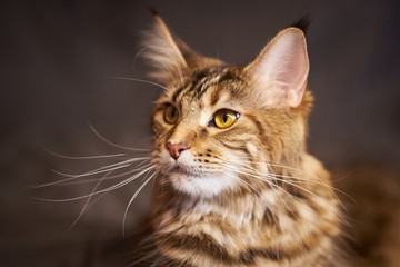 Portrait of a beautiful cat Maine Coon gray color