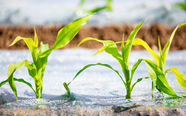 jeunes pousses de maïs au printemps