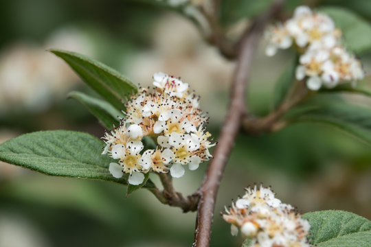 Willow Leaved Cotoneaster Flowers in Bloom in Springtime
