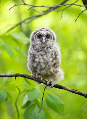 Barred owl owlet perched against a green background on a branch in the forest in Canada