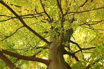 Obraz Beech tree crown treetop - concept Nature - low angle shot - fototapety do salonu