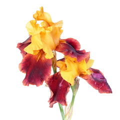 Variegata (yellow and burgundy) iris flowers close-up isolated on white background. Cultivar with yellow standards and burgundy falls from Tall Bearded (TB) iris garden group