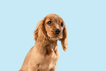 Wall Mural - Looking so sweet and full of hope. English cocker spaniel young dog is posing. Cute playful braun doggy or pet is sitting isolated on blue background. Concept of motion, action, movement.