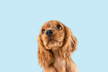 Poster Chien Looking so sweet and full of hope. English cocker spaniel young dog is posing. Cute playful braun doggy or pet is sitting isolated on blue background. Concept of motion, action, movement.