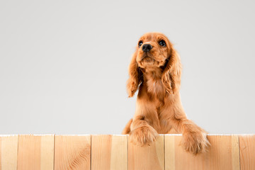Waiting for parents. English cocker spaniel young dog is posing. Cute braun doggy or pet is lying and looking happy isolated on white background. Negative space to insert your text or image.