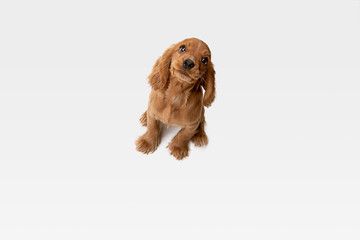 Wall Mural - Pure youth crazy. English cocker spaniel young dog is posing. Cute playful white-braun doggy or pet is playing and looking happy isolated on white background. Concept of motion, action, movement.