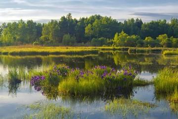 Deurstickers Iris Evening Zen on the iris lake. Red-listed iris laevigata blossom. Khabarovsk region, far East, Russia