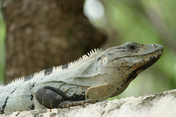 Mexican Spiny Tailed Iguana on Wall