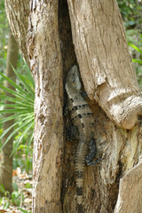 Spiny Tailed Iguana Hiding in a Tree Trunk