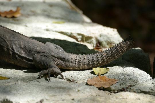 Black Iguana Missing its Tail