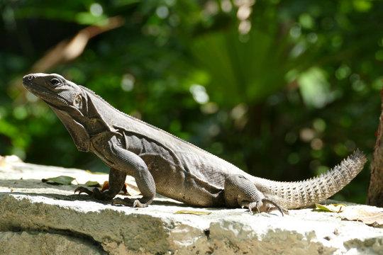 Black Spiny Tailed Iguana on Wall