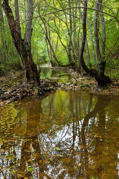 Alisos en Bosque de ribera. Alto Rudrón. Cañón del Ebro. BURGOS. CASTILLA Y LEÓN. ESPAÑA