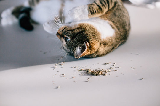 Cat laying on his back after eating catnip