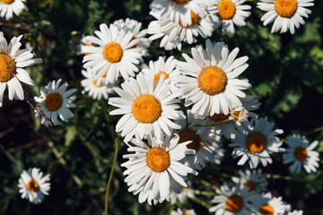 Colorful summer background of white daisy flowers. Summer, spring concepts. Beautiful nature background. Macro view of abstract nature texture. Template for design. Soft focus. Copy space