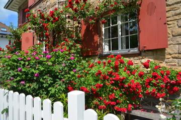 Dekorative Rosensträucher als Eingrünung an der Fassade einer älteren Sandstein-Villa