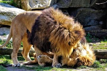 zärtliche Löwen