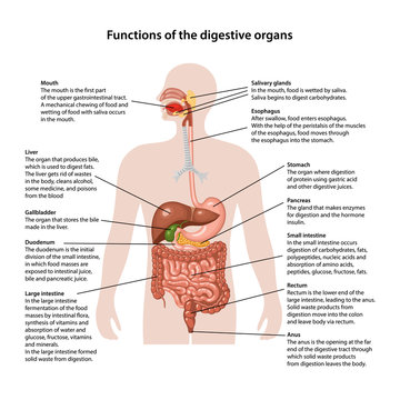 Functions of the digestive organs
