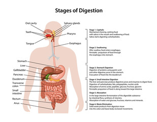 Anatomy of the human digestive system with description of the corresponding stages of digestion. Anatomical vector illustration in flat style isolated over white background.