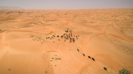 Aerial view of a group of goats walking in the desert of Sharjah, U.A.E.