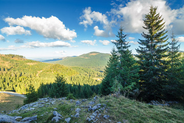 spruce forest on the edge of a hill. stunning landscape of apuseni natural park of romania. sunny afternoon weather in autumn. fluffy clouds on a blue sky. rocks on the slope