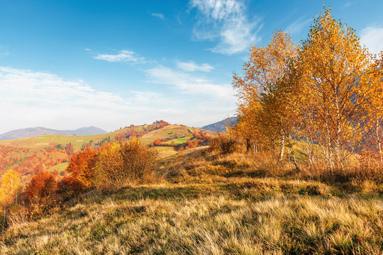 birch trees on the meadow in mountains. beautiful autumn landscape. trees in lush orange foliage. village on the distant hill. wonderful countryside scenery at sunrise. sunny weather