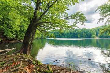 beech tree on the shore of a lake. beautiful nature scenery among primeval forest of vihorlat, slovakia. sunny afternoon weather in summer.