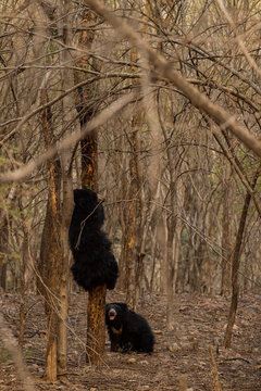 A sloth bear mother or Melursus ursinus climbing on a tree to get honey for her cub at Ranthambore National Park.A beautiful affectionate wildlife scene between mother and cub from forest of india.