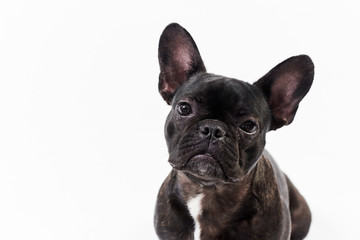 Autocollant pour porte Bouledogue français Puppy Black French bulldog sitting and looking on camera , isolated on white