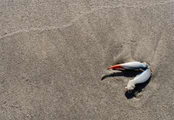 Blue Crab Claw Washed Up on Sand