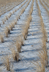 Planted Rows of Seagrass at Beach