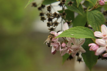 Honey bee at a Deutzia