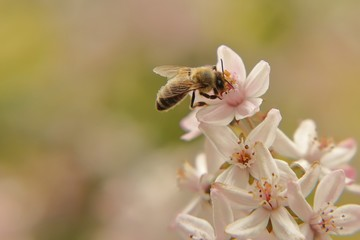 Honey bee on a blooming Deutzia