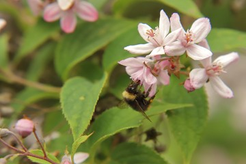 Bumblebee at a flower of a Deutzie
