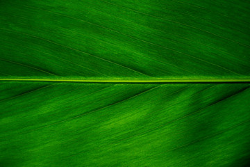Green leaf texture background, Leaf cell structure occurs naturally. Close-up.