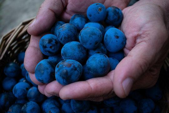 Sloe berries in the hands