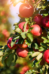 picture of a Ripe Apples in Orchard ready for harvesting,Morning shot