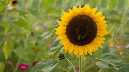 Sonnenblume, groß, Textraum