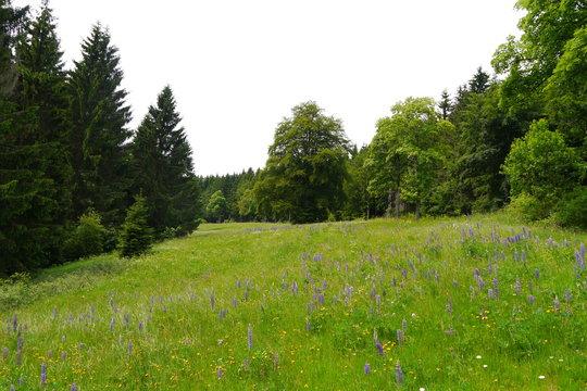 Blühende Waldwiese mit Lupinen im Sommer im Thüringer Wald