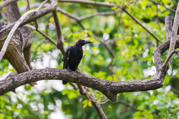 Black crow on tree branches