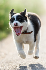 dog; puppy; jump; young; cute; terrier; animal; small; pet; running; fun; canine; motion; happy; active; pedigree; outdoors; flying; crazy; exercise; background; purebred; happiness; pretty; portrait;
