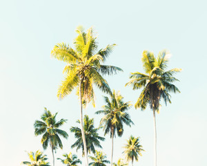 Wall Mural - Palm trees at tropical coast. Coconut palms against the blue sky.  Toned image.