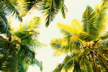 Wall Mural - Coconut palm trees on clear summer sky. Tropical background. Low Angle View.  Toned image.